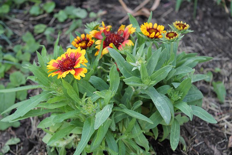 Choosing Perennials Gaillardia