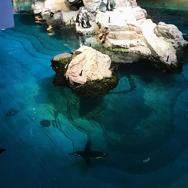 Penguin swimming at NE Aquarium